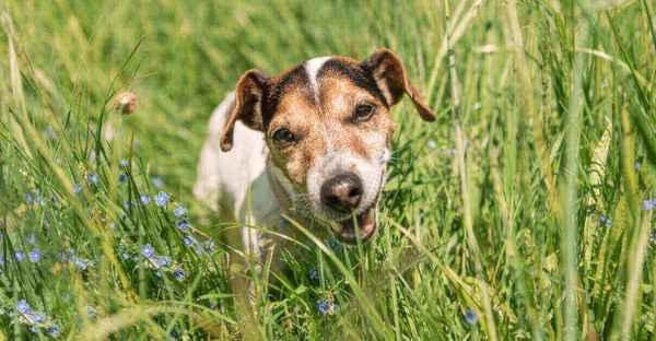 Warum-Hunde-Gras-fressen-2-2-2-2-2-2-2-2